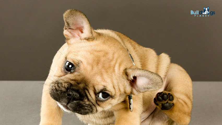 French Bulldogs Allergies
